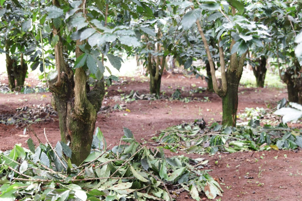 Kenyan coffee trees